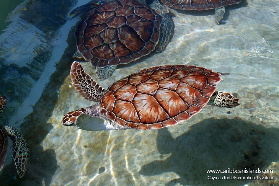 Cayman Turtle Farm, Grand Cayman Island
